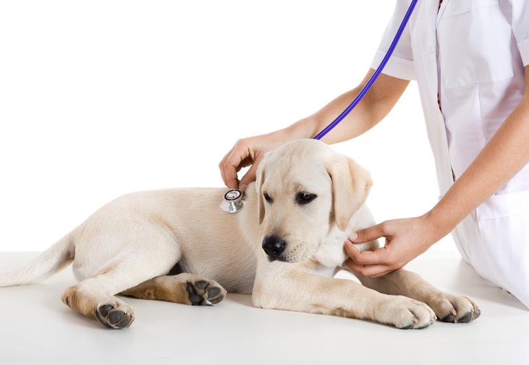 Cane veterinario iko